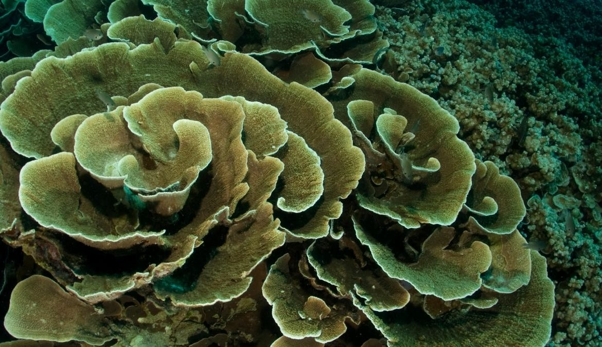 The Evolutionary Survival of Coral Reefs