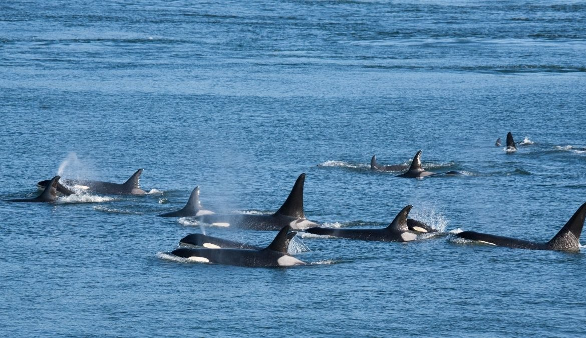 PCB Contamination in Icelandic Orcas Due To Diet: Study