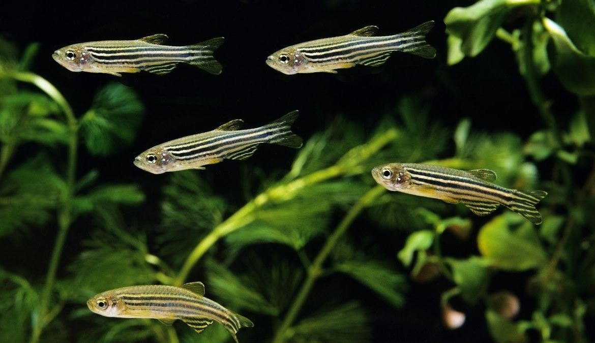 Zebrafish Genes May Hold The Key To Fixing Human Scars