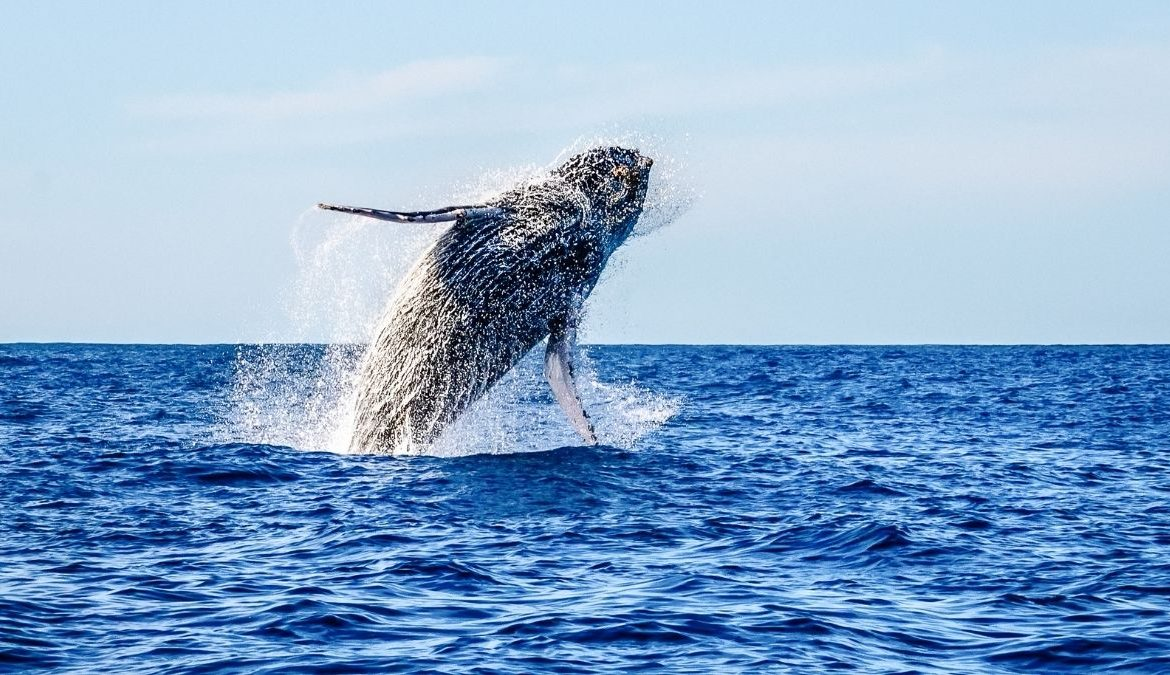 One Whale's Epic Journey: Grey Whale Spotted in the Southern Hemisphere!